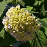 Hortensie Strauch Bluete blasslila Hydrangea macrophylla 06