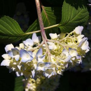 Hortensie Strauch Bluete blasslila Hydrangea macrophylla 07