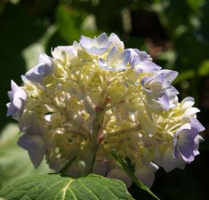 Hortensie Strauch Bluete blasslila Hydrangea macrophylla 08