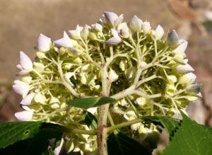 Hortensie Strauch Bluete blasslila Hydrangea macrophylla 09