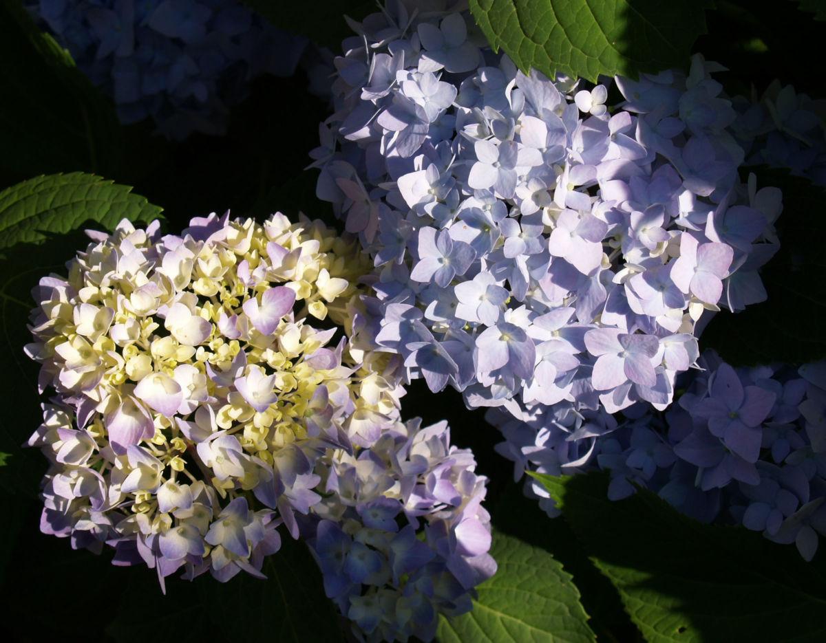 Hortensie Strauch Bluete blasslila Hydrangea macrophylla