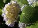 Zurück zum kompletten Bilderset Gartenhortensie Strauch Blüte blass lila Hydrangea macrophylla