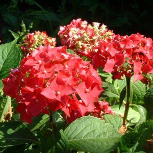 Hortensie Strauch Bluete rot Hydrangea 01