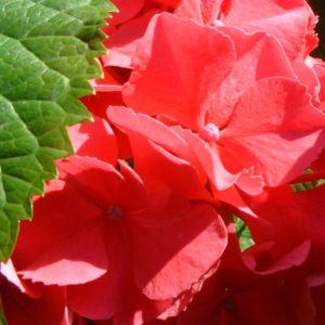 Hortensie Strauch Bluete rot Hydrangea 02