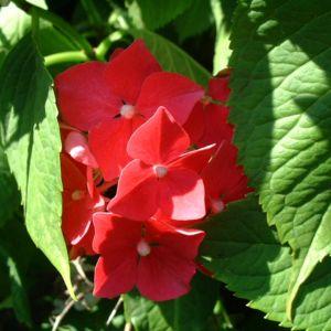 Hortensie Strauch Bluete rot Hydrangea 03