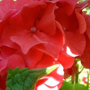 Hortensie Strauch Bluete rot Hydrangea 04