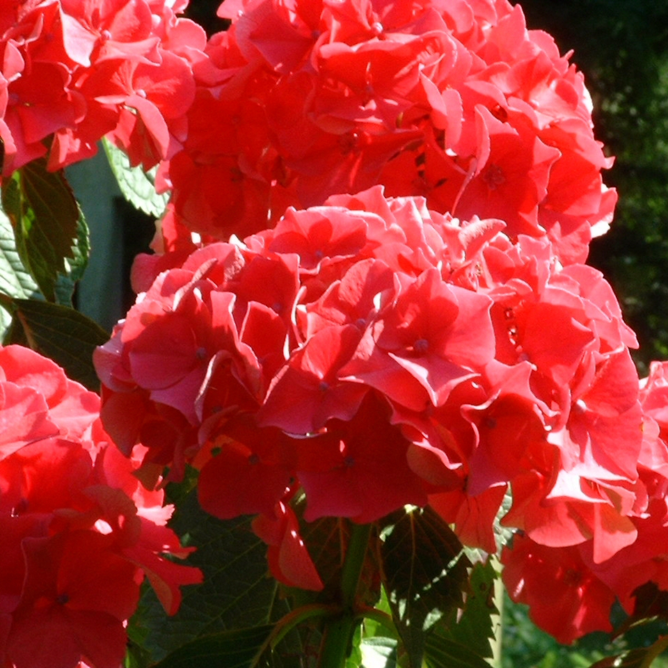 Hortensie Strauch Bluete rot Hydrangea