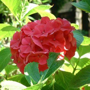 Hortensie Strauch Bluete rot Hydrangea 06