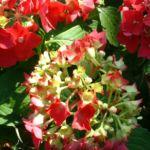 Hortensie Strauch Bluete rot Hydrangea 07