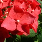 Hortensie Strauch Bluete rot Hydrangea 08