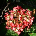 Hortensie Strauch Bluete rot Hydrangea 09