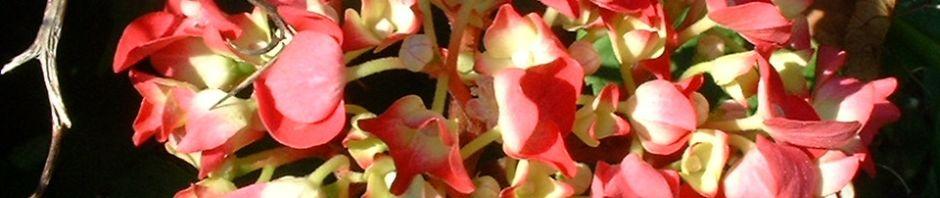 Anklicken um das ganze Bild zu sehen Hortensie Strauch Blüte rot Hydrangea macrophylla