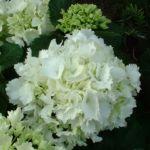 Hortensie weiss Hydrangea arborescens 01