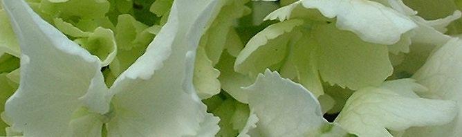 Anklicken um das ganze Bild zu sehen Wald-Hortensie Blüte weiß Hydrangea arborescens