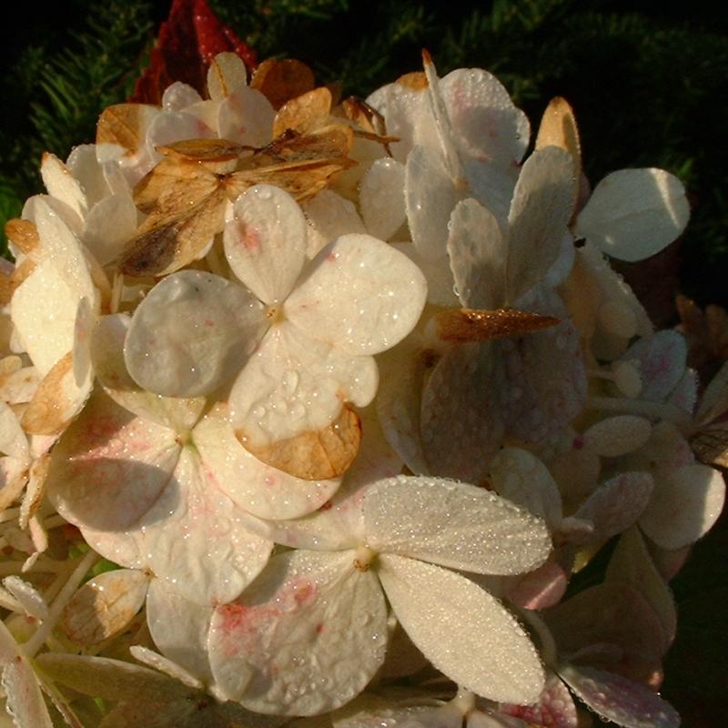 Hortensie weisse Bluete Hydrangea macrophylla