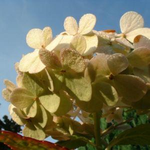 Bild: Hortensie weisse Bluete Hydrangea macrophylla