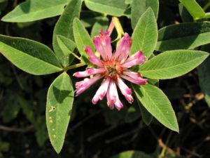Huegel Klee Bluete rot weiss Trifolium alpestre 01