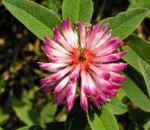 Huegel Klee Bluete rot weiss Trifolium alpestre 02