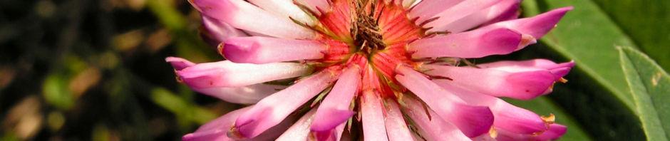 huegel-klee-bluete-rot-weiss-trifolium-alpestre