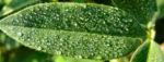 Huegel Klee Bluete rot weiss Trifolium alpestre 03