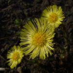 Bild: Huflattich Blüte hellgelb Tussilago farfara