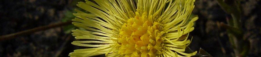 Anklicken um das ganze Bild zu sehen Huflattich Blüte hellgelb Tussilago farfara