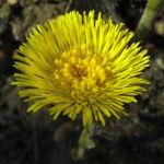 Bild: Huflattich Blüte gelb Tussilago farfara