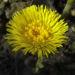 Zurück zum kompletten Bilderset Huflattich Blüte gelb Tussilago farfara
