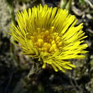 Huflattich Tussilago farfara 06