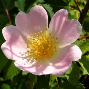 Bild: Hunds Rose Bluete zartrosa Rosa canina