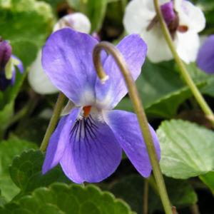 Hunds Veilchen Bluete blau Viola canina 02