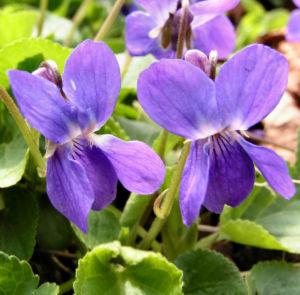 Hunds Veilchen Bluete blau Viola canina 04