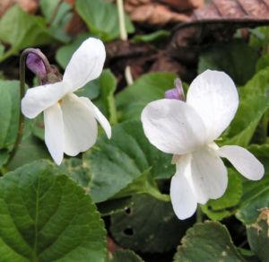 Hunds Veilchen Bluete weiss Viola canina 03