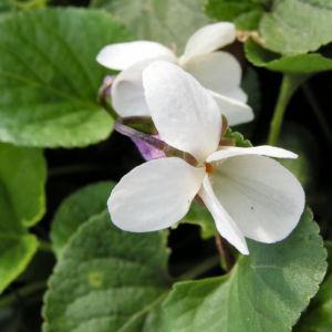Hunds Veilchen Bluete weiss Viola canina 06