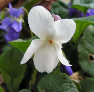 Hunds Veilchen Bluete weiss Viola canina 07