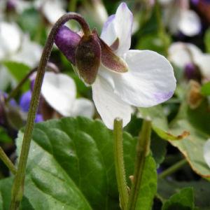 Hunds Veilchen Bluete weiss Viola canina 08