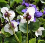 Bild: Hunds-Veilchen Blüte weiß Viola canina