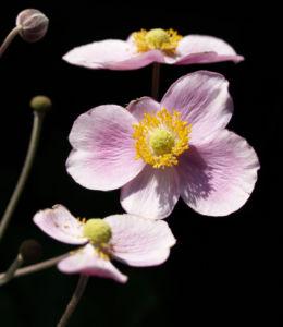 Hupeh Anemone Bluete hellrosa Anemone hupehensis 01
