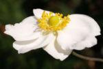 Hupeh Anemone Bluete hellrosa Anemone hupehensis 11