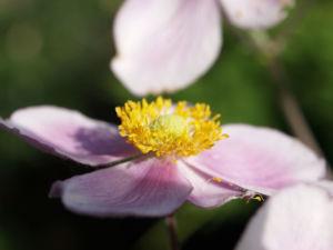 Bild: Hupeh Anemone Bluete hellrosa Anemone hupehensis