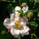 Bild: Hupeh Windröschen Blüte weiß Anemone hupehensis