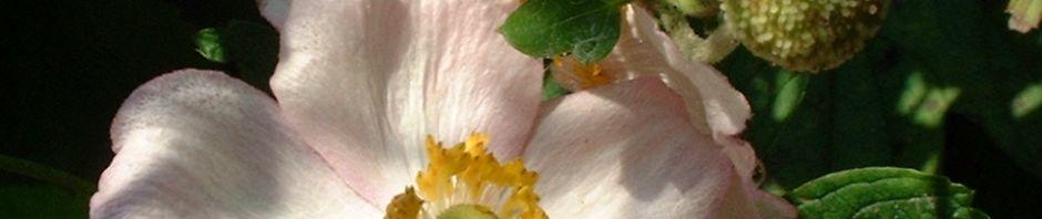 hupeh-windroeschen-bluete-weiss-anemone-hupehensis