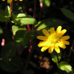 Husarenknopf Bluete gelb Sanvitalia procumbens 01