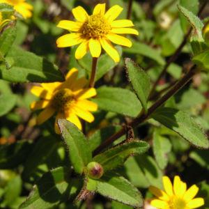 Husarenknopf Bluete gelb Sanvitalia procumbens 02