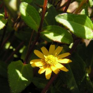 Husarenknopf Bluete gelb Sanvitalia procumbens 03