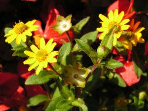 Husarenknopf Bluete gelb Sanvitalia procumbens 04