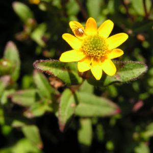 Husarenknopf Bluete gelb Sanvitalia procumbens 05