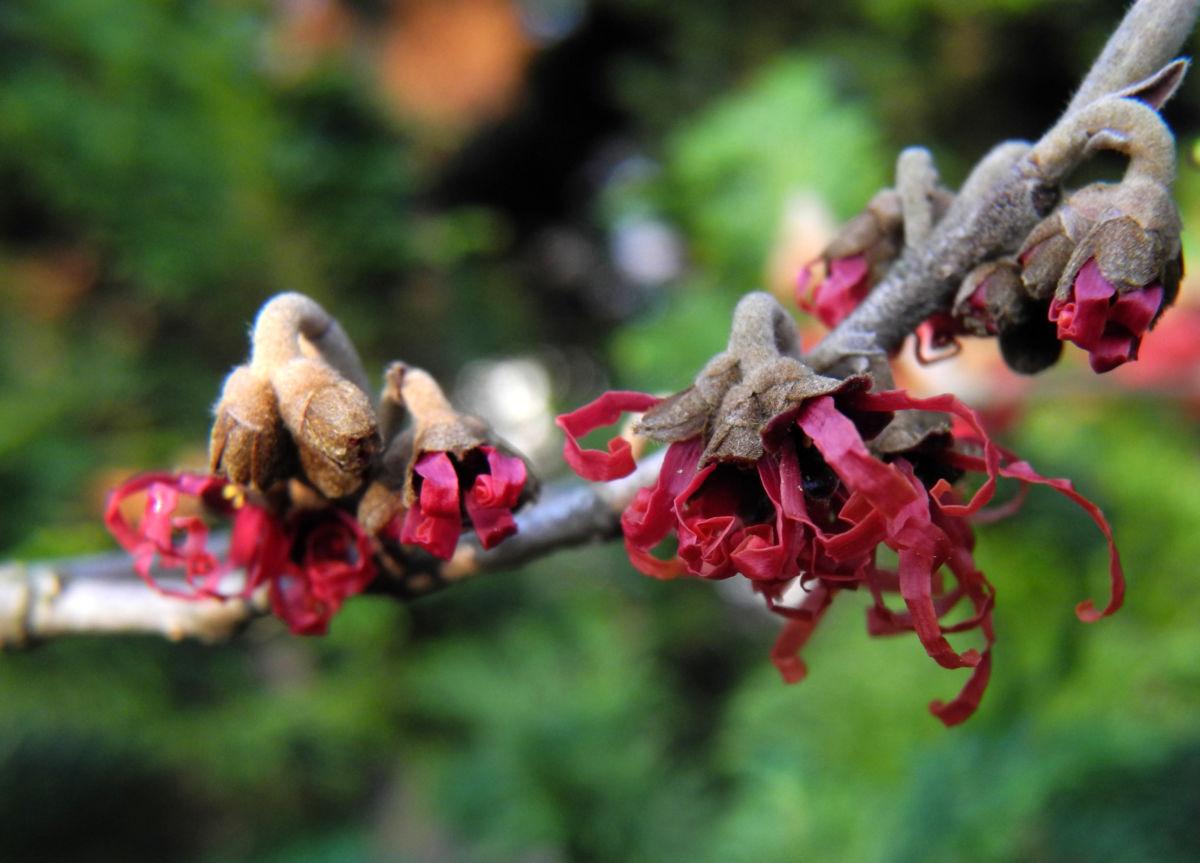 Hybrid Zaubernuss Bluete rot Hamamelis x intermedia