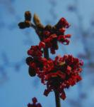 Hybrid Zaubernuss Bluete rot Hamamelis x intermedia 10