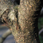 Bild: Hybrid Zaubernuss Blüte rot Hamamelis x intermedia